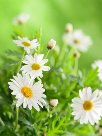 chamomile flower: Green grass and chamomiles in the nature