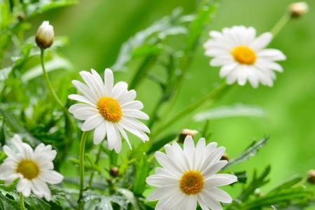 medicina natural: Hierba verde y manzanilla en la naturaleza Foto de archivo