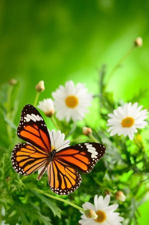 margriet: chamomiles en vlinder in de natuur Stockfoto