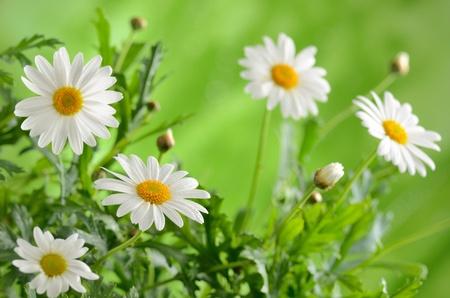 margriet: Groen gras en chamomiles in de natuur