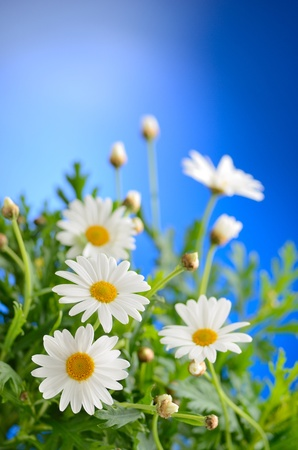 blue daisy: Green grass and chamomiles in the nature