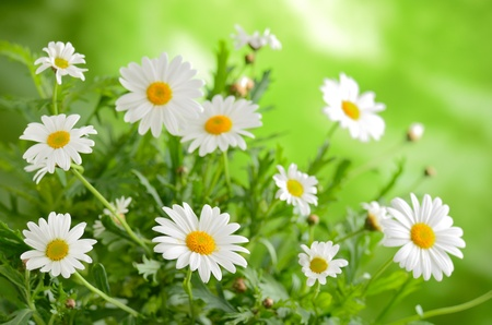 white with daisies: Green grass and chamomiles in the nature
