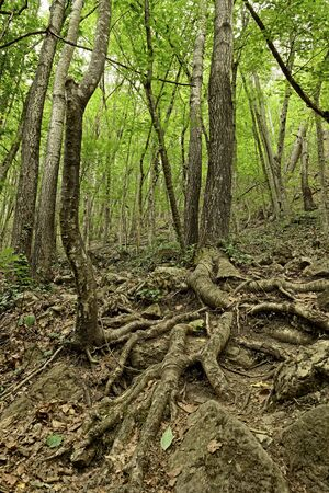 tree roots in the forest photo