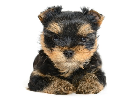 yorkshire terrier puppy the age of 1 month isolated on  white Stock Photo - 13885827
