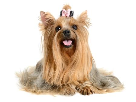 toilettage chien yorkshire terrier isolé sur blanc Banque d\u0027images
