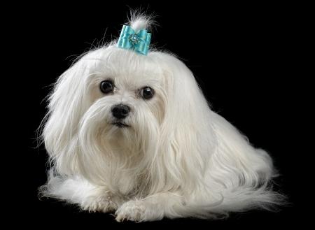 white maltese:  maltese dog isolated on the black background Stock Photo