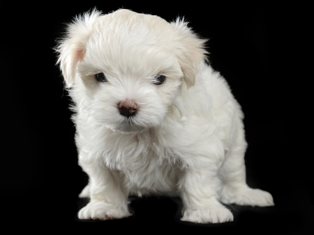 maltese puppy isolated on the black background Stock Photo - 13885822