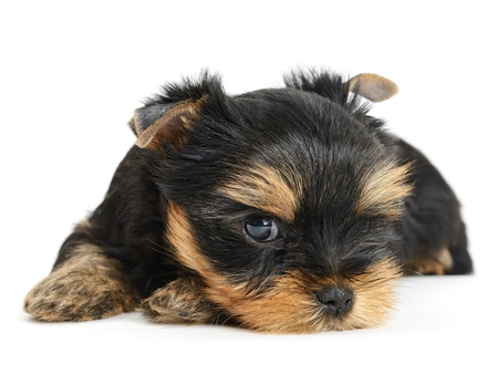 closeup puppy: yorkshire terrier puppy the age of 1 month isolated on  white
