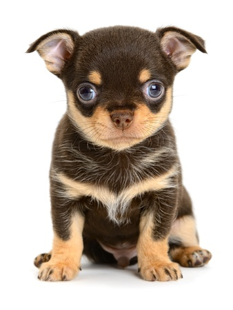 yorky: toy terrier puppy the age of 1 month isolated on  white