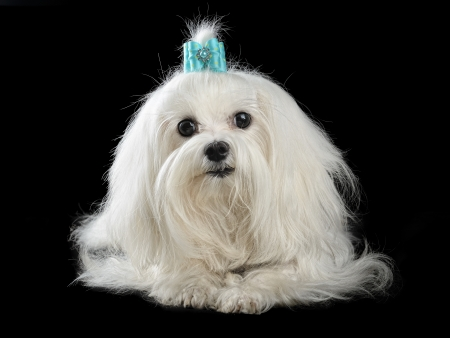 white maltese: maltese dog isolated on the black background