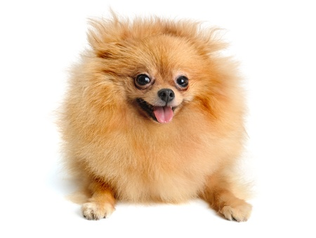 pomeranian puppy  isolated on  white photo