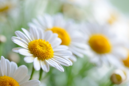 white daisy: Green grass and chamomiles in the nature