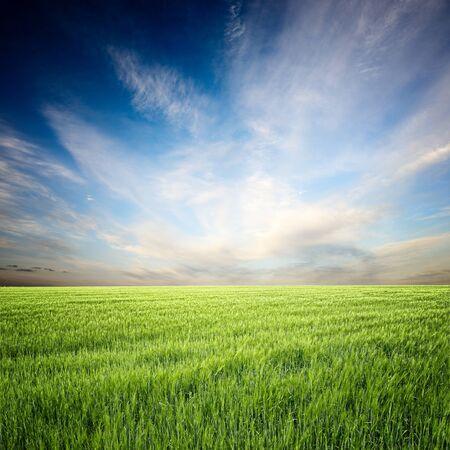 ciel avec nuages: champ de blé, le ciel bleu et nuages ??blancs