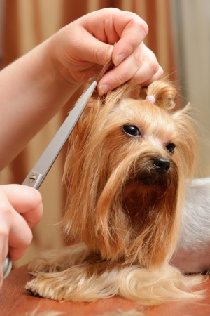 groomer: professional care for dog hair Stock Photo