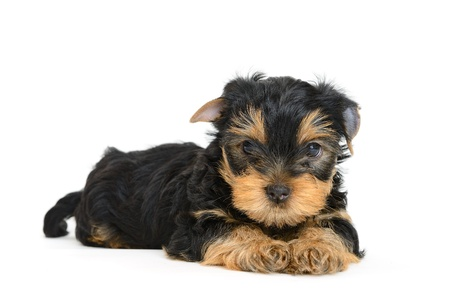 yorkshire terrier puppy the age of 1 month isolated on  white Stock Photo - 15930951