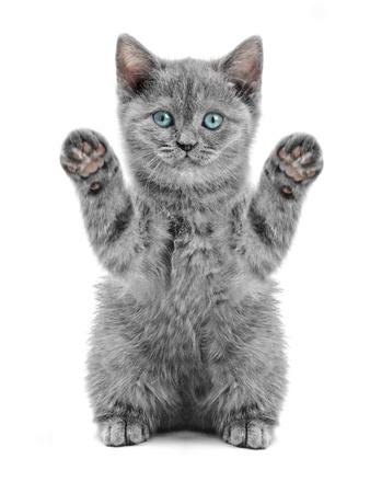 gato jugando: pequeño gatito británico en el fondo blanco