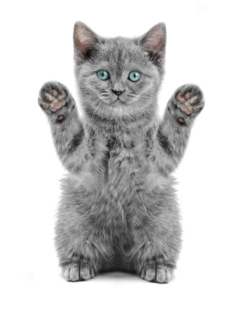 small british  kitten on the white background photo