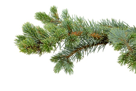 spruce tree: fir tree isolated on white Stock Photo