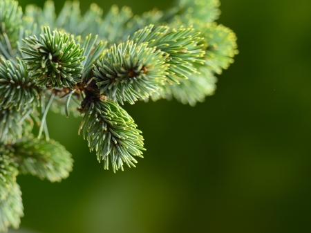 pine trees: branch blue fir tree Stock Photo
