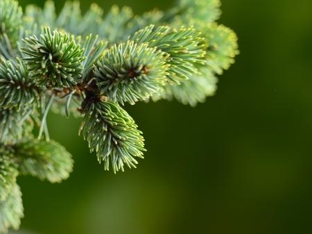 branch blue fir tree Standard-Bild