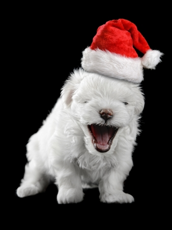 maltese puppy isolated on the black background photo