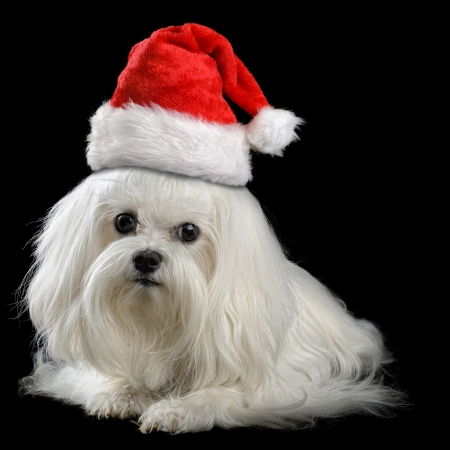 maltese dog isolated on the black background photo