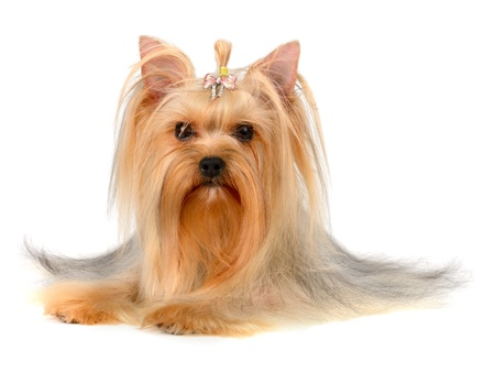 yorkshire terrier  isolated on  white Stock Photo - 16310624