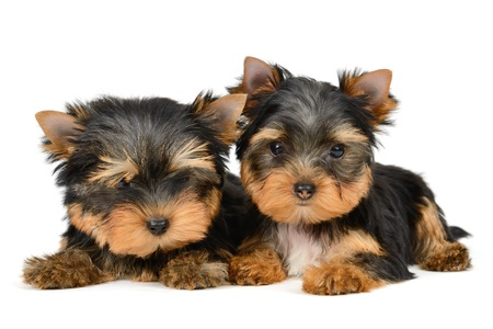 yorkshire terrier puppy the age of 2 month isolated on  white Stock Photo - 16310670
