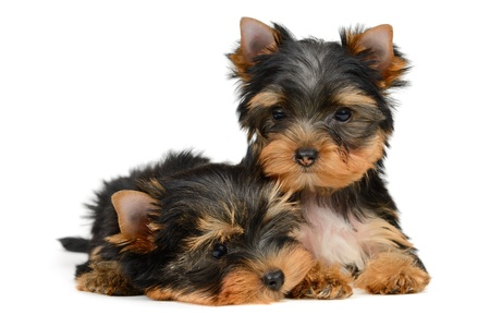 yorkshire terrier puppy the age of 2 month isolated on  white Stock Photo - 16310666