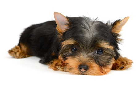 yorkshire terrier puppy the age of 2 month isolated on  white Stock Photo - 16310658