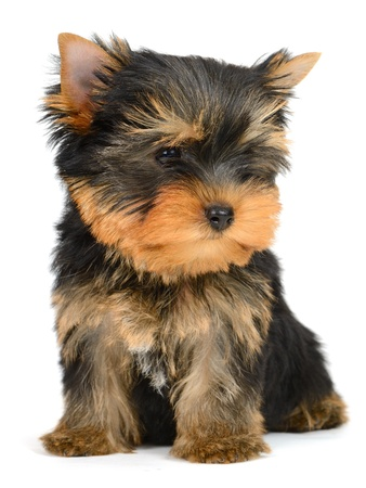 yorkshire terrier puppy the age of 2 month isolated on  white Stock Photo - 16310653