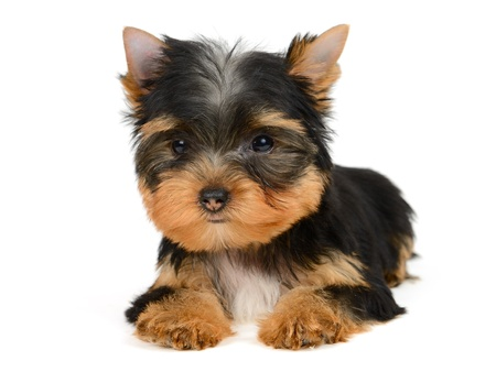 yorkshire terrier puppy the age of 2 month isolated on  white Stock Photo - 16310645