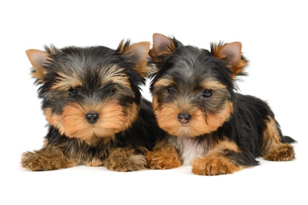 yorkshire terrier puppy the age of 2 month isolated on  white Stock Photo - 16310673