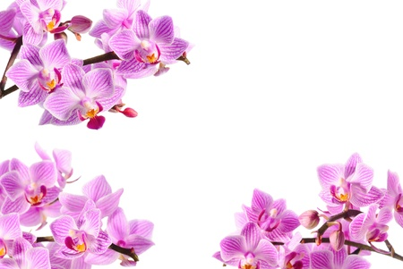 massage symbol: pink orchid isolated on white