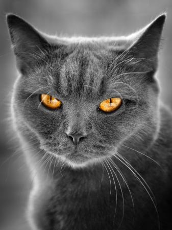 british cat portrait photo