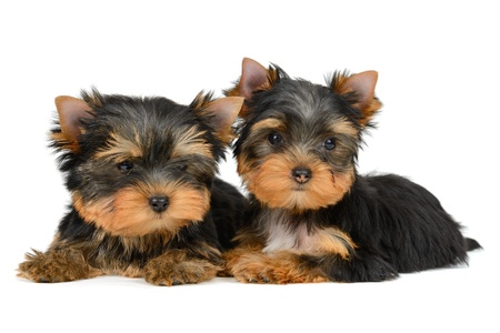 yorkshire terrier puppy the age of 2 month isolated on  white Stock Photo - 17121428
