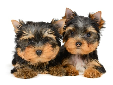 yorkshire terrier puppy the age of 2 month isolated on  white Stock Photo - 17121454