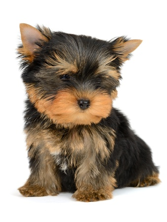 yorkshire terrier puppy the age of 2 month isolated on  white Stock Photo - 17121248