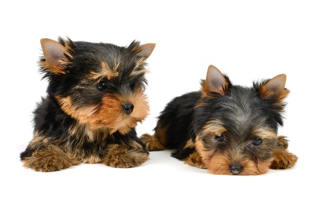 yorkshire terrier puppy the age of 2 month isolated on  white Stock Photo - 17121199
