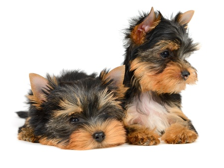 yorkshire terrier puppy the age of 2 month isolated on  white Stock Photo - 17121211