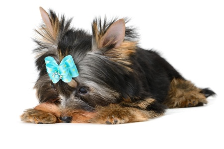 yorkshire terrier puppy the age of 2 month isolated on  white Stock Photo - 17121197