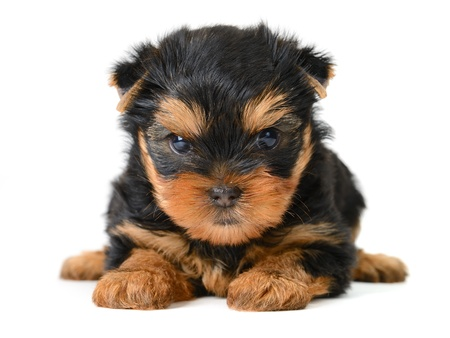 yorkshire terrier puppy the age of 2 month isolated on  white Stock Photo - 17121286