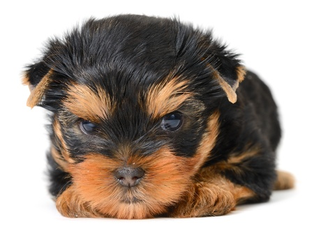 yorkshire terrier puppy the age of 2 month isolated on  white Stock Photo - 17121343