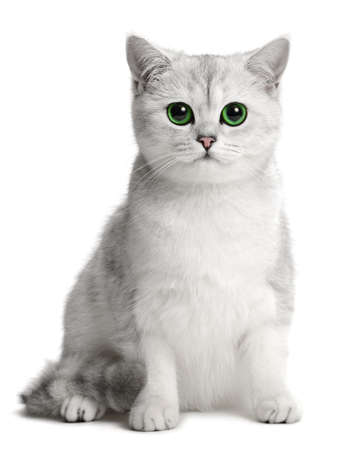 british cat on the white background photo