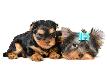 yorkshire terrier puppy the age of 2 month isolated on  white Stock Photo - 17121372