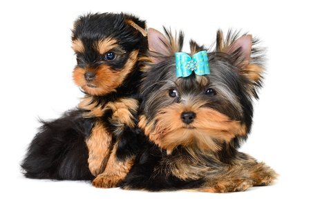 yorkshire terrier puppy the age of 2 month isolated on  white Stock Photo - 17121374