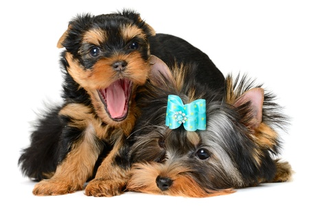 yorkshire terrier puppy the age of 2 month isolated on  white Stock Photo - 17121223
