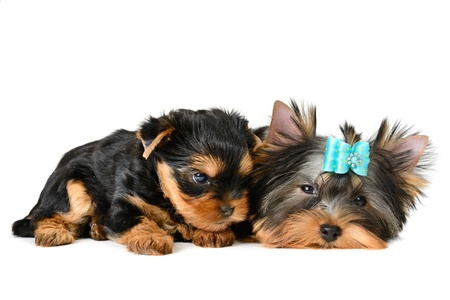 yorkshire terrier puppy the age of 2 month isolated on  white Stock Photo - 17121387