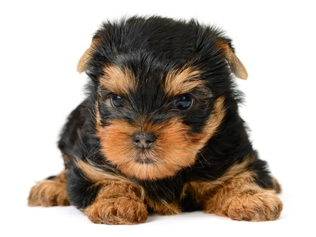 yorkshire terrier puppy the age of 2 month isolated on  white photo