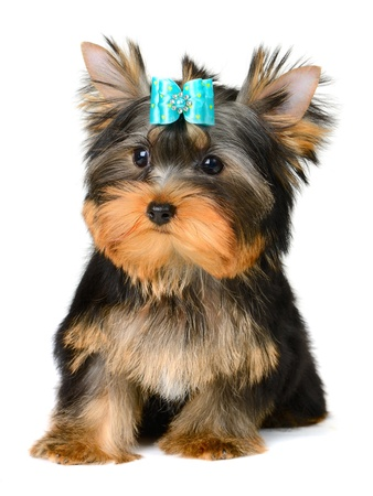 dog grooming: yorkshire terrier puppy the age of 2 month isolated on  white Stock Photo